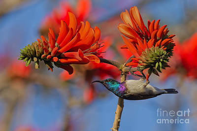 Sunbird On Coral Art Print by Ashley Vincent