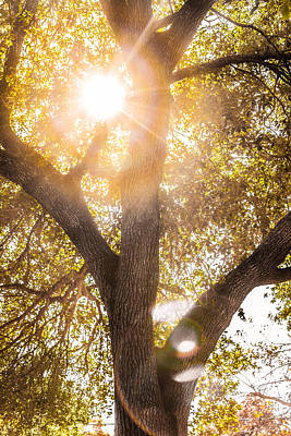 Photograph - Sunburst Oak by Melinda Ledsome