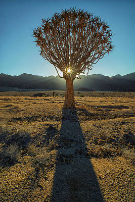 Sunburst Through A Kookerboom Tree Art Print by Robert Postma
