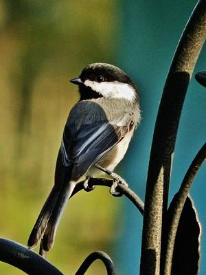 Photograph - Sundown Chickadee by VLee Watson
