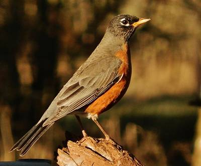 Photograph - Sundown Robin by VLee Watson