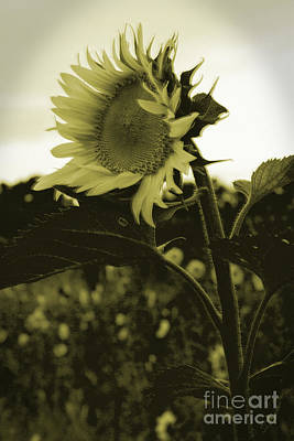 Photograph - Sunfllower by Sandra Clark