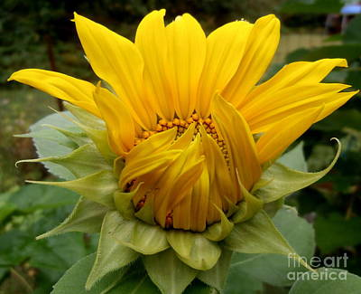 Photograph - Sunflower 1 by Eunice Miller