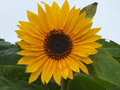 Photograph - Sunflower 1 by Gene Cyr