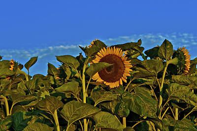 Photograph - Sunflower 1 by SC Heffner