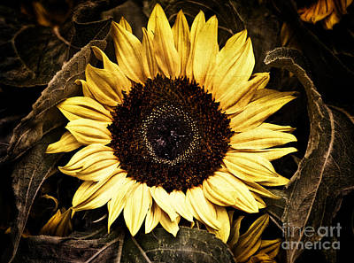 Photograph - Sunflower 1 by Susan Parish