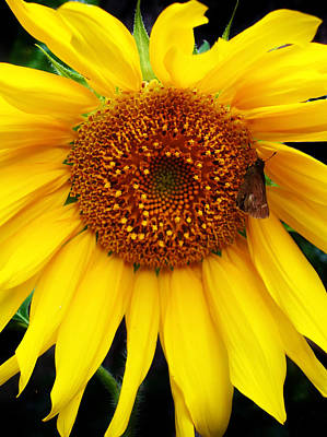 Photograph - Sunflower 2 by Kara  Stewart