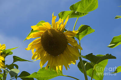 Photograph - Sunflower 2 by Louise Magno