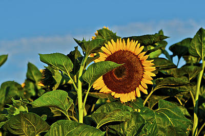 Photograph - Sunflower 2 by SC Heffner