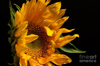 Sunflower 2010 Art Print