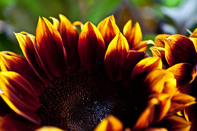 Photograph - Sunflower 3 by Carole Hinding