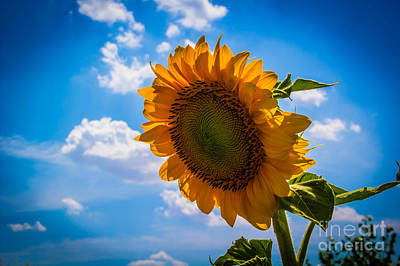 Photograph - Sunflower 3 by Jim McCain