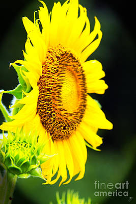 Photograph - Sunflower 3 by Sandra Clark