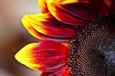 Photograph - Sunflower 5 by Carole Hinding
