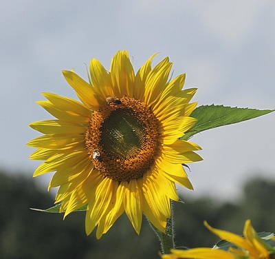 Rural Photograph - Sunflower 5 by Cathy Lindsey
