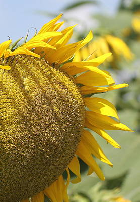 Yellow Sunflowers Photograph - Sunflower 8 by Cathy Lindsey