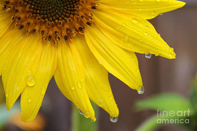 Photograph - Sunflower After The Rain by Nina Silver