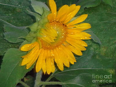 Photograph - Sunflower After The Storm by Rod Ismay