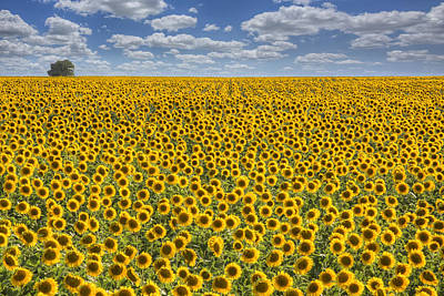 Sunflower Afternoon - Texas Wildflower Images - Happiness Art Print by Rob Greebon
