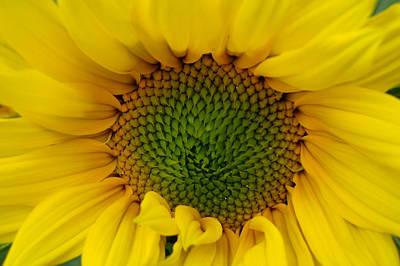 Photograph - Sunflower Aglow by Roxy Hurtubise