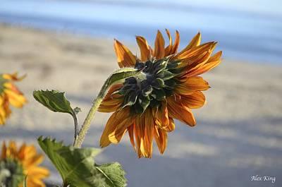Sunflower Art Print by Alex King