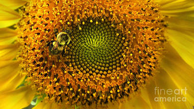 Photograph - Sunflower An Bumble by Brittany Perez