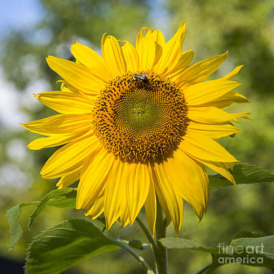 Photograph - Sunflower And Bee by Alana Ranney