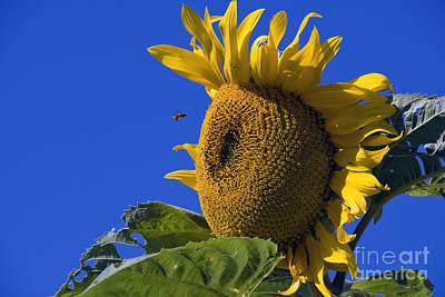 Photograph - Sunflower And Bee by David Zanzinger
