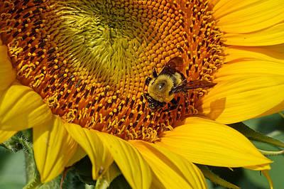 Kansas Photograph - Sunflower And Bee Macro by Alan Hutchins