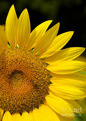 Photograph - Sunflower And Bee by Mark Dodd