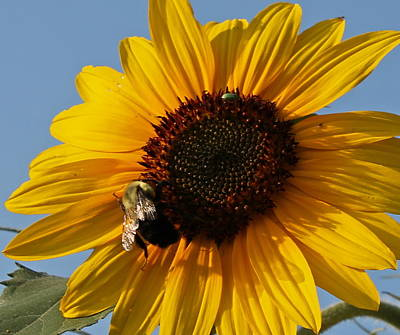 Photograph - Sunflower And Bee by Victoria Sheldon