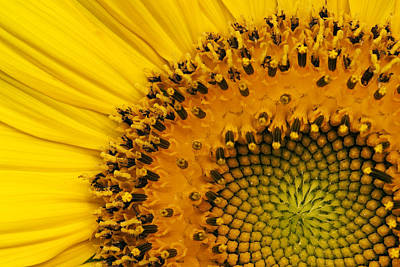 Photograph - Sunflower And Bees by Byron Jorjorian