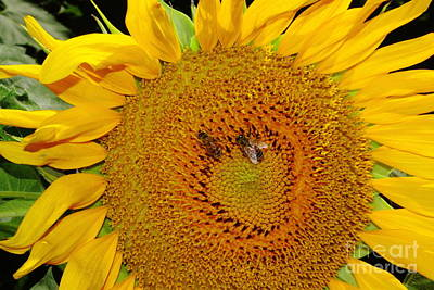 Bee Hive Photograph - Sunflower And Bees by Robert Frederick