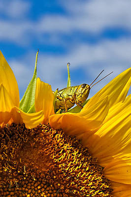 Vintage Pink Cadillac - Sunflower and Grasshopper Closeup by Alan Hutchins