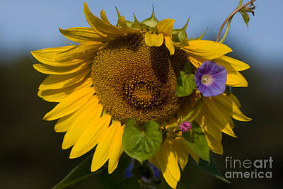 Photograph - Sunflower And Morning Glory by Chris Scroggins