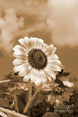 Photograph - Sunflower And Sky by Chris Scroggins