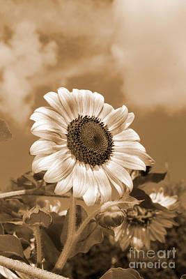 Photograph - Sunflower And Sky by Chris Scroggins