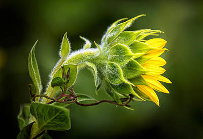 Photograph - Sunflower And Vine by Carolyn Derstine