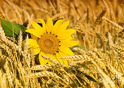 Deer Resistant Flowers Photograph - Sunflower And Wheat by Boon Mee