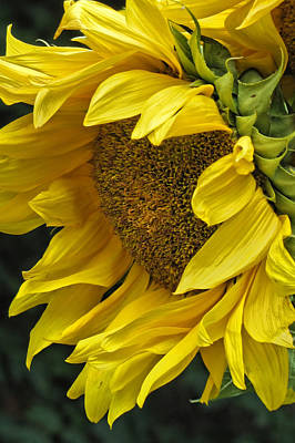 Photograph - Sunflower  by Ann Bridges