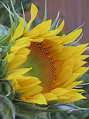 Photograph - Sunflower Awakening by Kay Novy