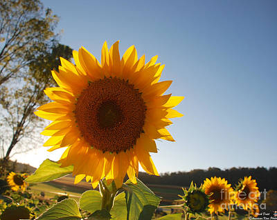 Photograph - Sunflower Backlit  by Mark Dodd