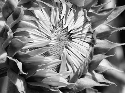 Photograph - Sunflower Beauty In Black And White by Belinda Lee