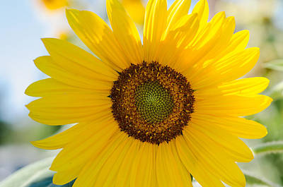 Photograph - Sunflower Beauty by Margaret Pitcher