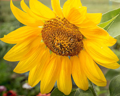 Photograph - Sunflower Beauty  by Mary Underwood