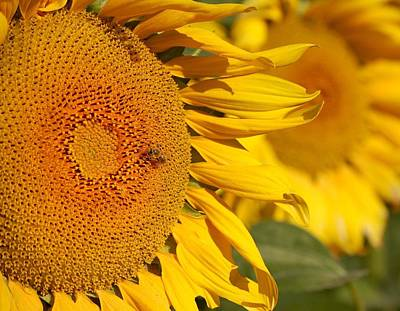 Photograph - Sunflower Bee by Michael Thomas
