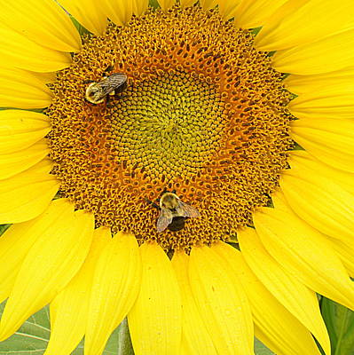 Photograph - Sunflower Bees - Square by Joel E Blyler