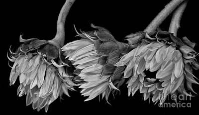 Photograph - Sunflower Beginnings by Shirley Mangini