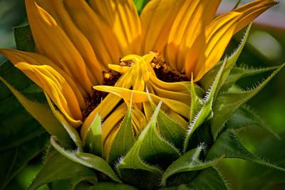 Sunflowers Photograph - Sunflower by Bill Wakeley
