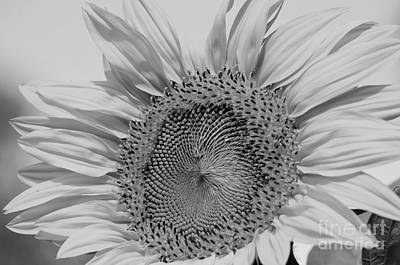 Photograph - Sunflower Black And White by Wilma  Birdwell